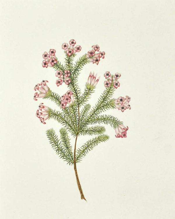 Mrs. [Watercolour Album of Heaths]. - 2