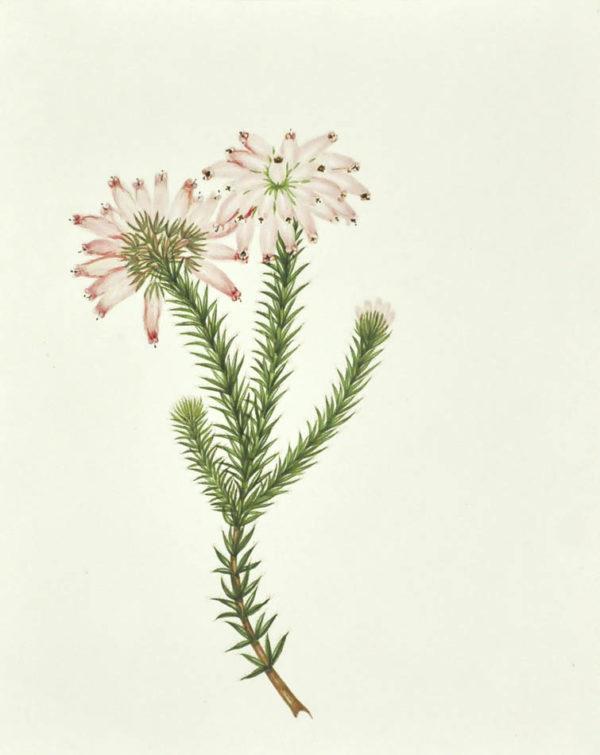 Mrs. [Watercolour Album of Heaths]. - 4